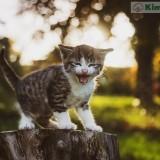 gatito-maullando