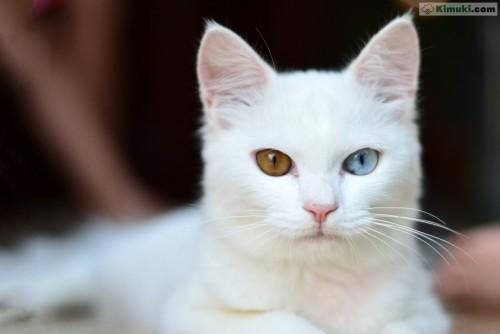 gato-blanco-ojos-de-colores.jpg