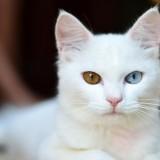 gato-blanco-ojos-de-colores