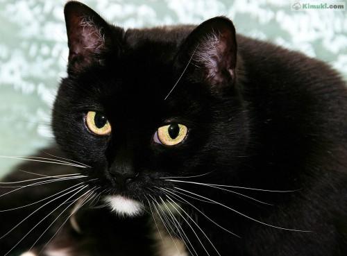 gato-negro.jpg